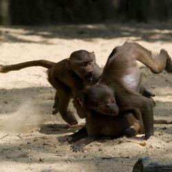 Stoeiende apen