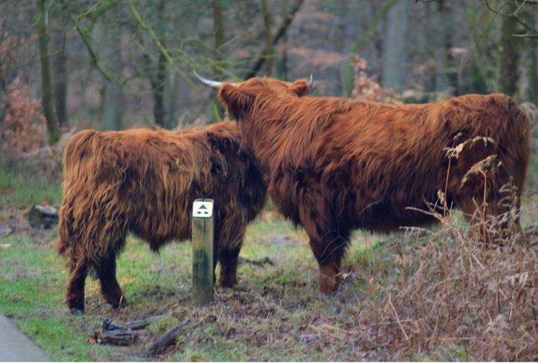 Schotse Hooglanders - Schotse Hooglanders @postbank Arnhem