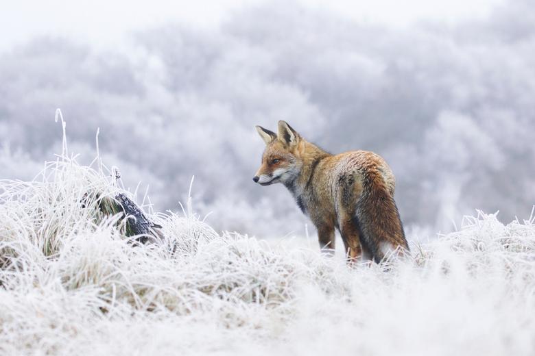 Winters landschap en een vos.