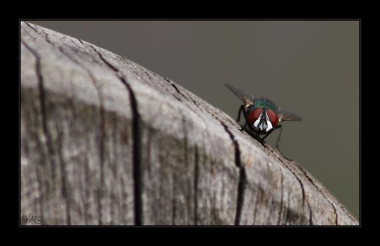 Just flying by - Gewoon omdat ik het een mooi contrast vind deze groene vleesvlieg op het verweerde hek .....