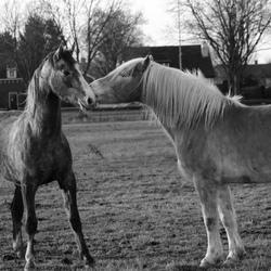 Paarden zwart/wit