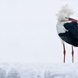ooievaar in de sneeuw