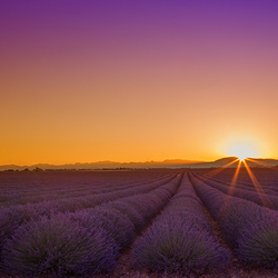 Plateau de valensole at sunrise
