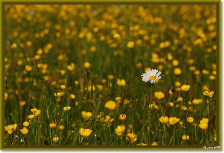 Eenzaam 3 - Mooi hoe deze alleenstaande witte margriet zich staande houdt op deze weide vol met prachtige mooie gele boterbloemen Eenzaam maar niet ec