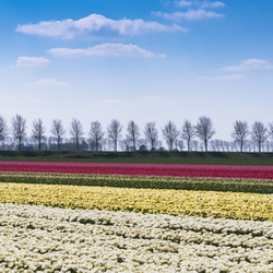Bont gekleurde tulpenvelden
