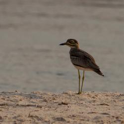 Water thick-knee Plover Botswana