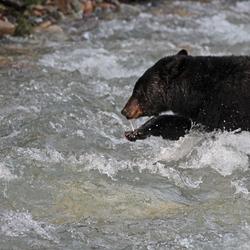 black bear in the river