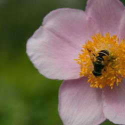 roze bloem met wesp