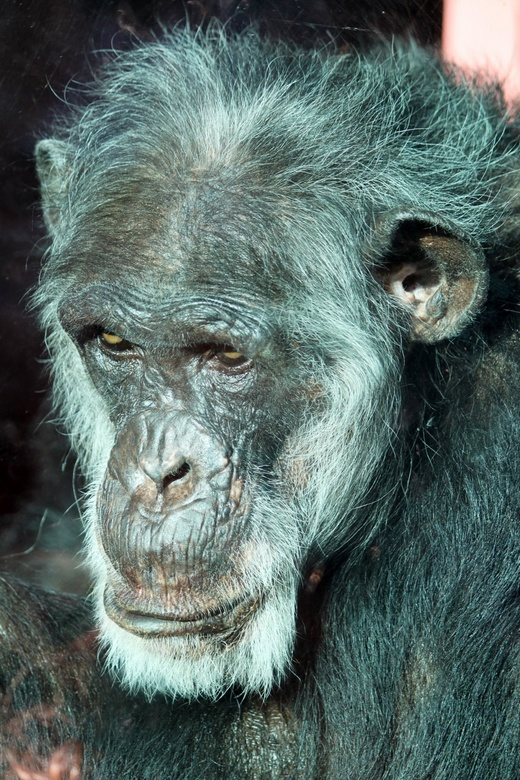 Chimpansee dierenpark Amersfoort - Deze zat achter glas in een hoekje. Kinderen stonden tegen het raam aan te slaan. Heel sneu allemaal...