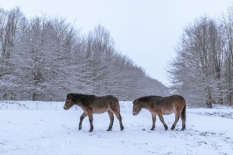 Pony's in de sneeuw - Even winter vandaag. Volgens mij vinden deze pony's dat het wel weer voorbij mag zijn.