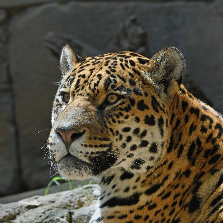spots - Veel katachtigen zijn in de vrije natuur met uitsterven bedreigd. Verlies van habitat en vervolging door de mens zijn belangrijke oorzaken. De