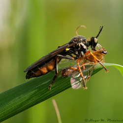 Zwartvleugelroofvlieg