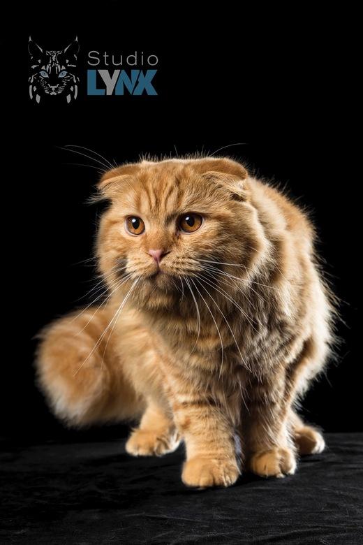 Sweet as Mojo - Deze knappe rode Highland Fold kater Mojo heeft een fantastisch zacht karakter. Een plezier of foto's van te nemen!