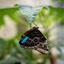 Vlinder hangend aan blad