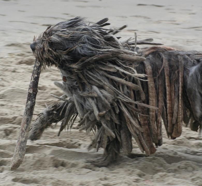 Askan met een takje - Voor de geinteresseerden, het merk hond is Bergamasco. Askan is z'n naam.