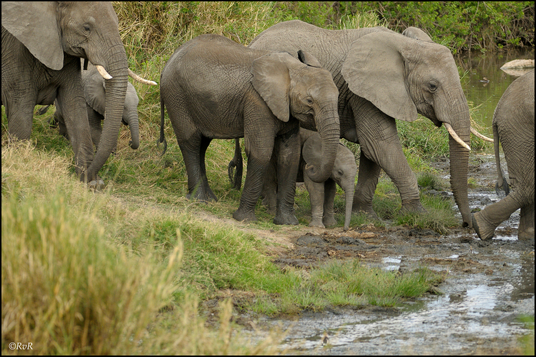 Volgende begeleidster - Het vervolg op de serie overstekende olifanten. Hierin is een stuk van het gedrag van olifanten terug te zien.<br /> Dit is h