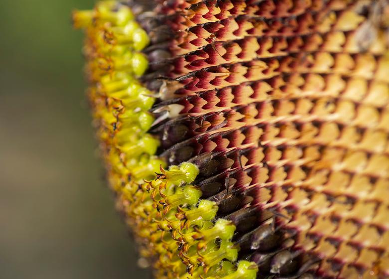 My inner beauty 2 - Detailopname van een zonnebloem.<br /> Inzending voor de fotowedstrijd puur natuur.