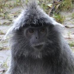 2009 Borneo mutslangoer (aap).jpg