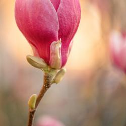 magnolia in avondlicht