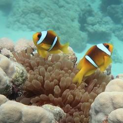 Anemoonvis Rode Zee