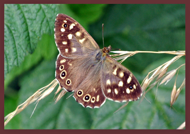 Vlinder - Een vlinder van een tijdje terug, gemaakt in Sandwijck.....Erg mooi gebied.<br /> <br /> Bedankt voor alle reacties en opmerkingen op mijn