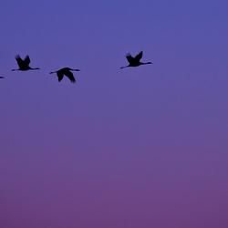 kraanvogels op le lac du Der, 3