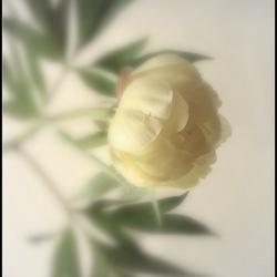 zachte bloem