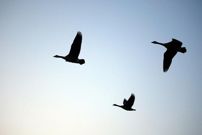 Vlucht - Foto gemaakt in de ochtend van een koppel ganzen in natuurgebied Bargerveen bij Emmen.