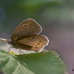 """Butterfly  """"Koevinkje"""""""