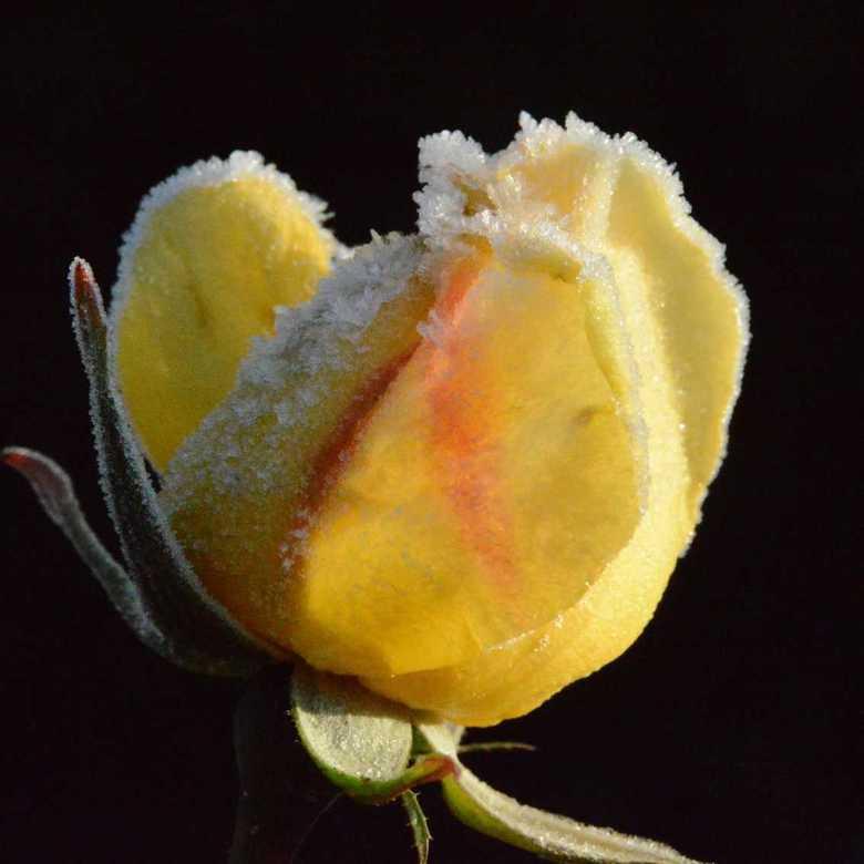 Jonge roos in de ochtendvorst.  - Ondanks de eerste koude winterdagen, een jonge roos in de achtertuin met ochtend rost. Mooi detail van de ijsvorming