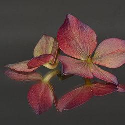Hortensia bloemetje.