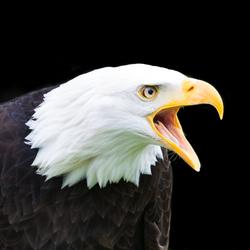 Bald Eagle Portret