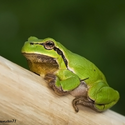 Paasboom-kikker
