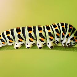 Caterpillar Swallowtail