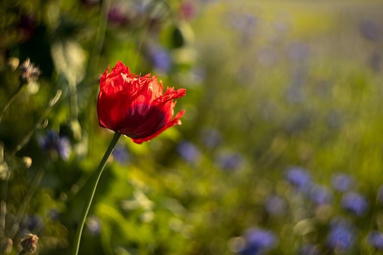 wilde bloemen - klaproos gemaakt met de Helios 44 lens. <br />  vlak voor de zonsondergang.