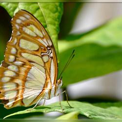Malachietvlinder 2