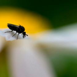 zwart vliegje