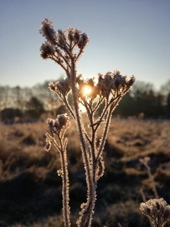 Gouden ochtend - Deze foto is genomen achter ons kantoorgebouw. Gewoon een uitgedroogd plantje bedekt in sprankelende ijskristallen. Minder = meer <im