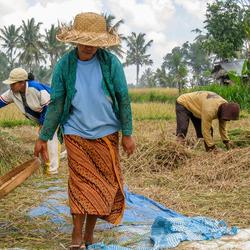 Bali - werken op de rijstvelden