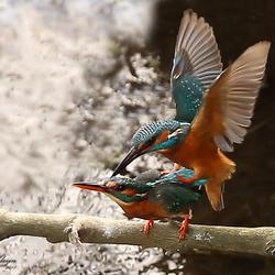 IJsvogel paring