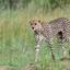 Serengeti Hunter