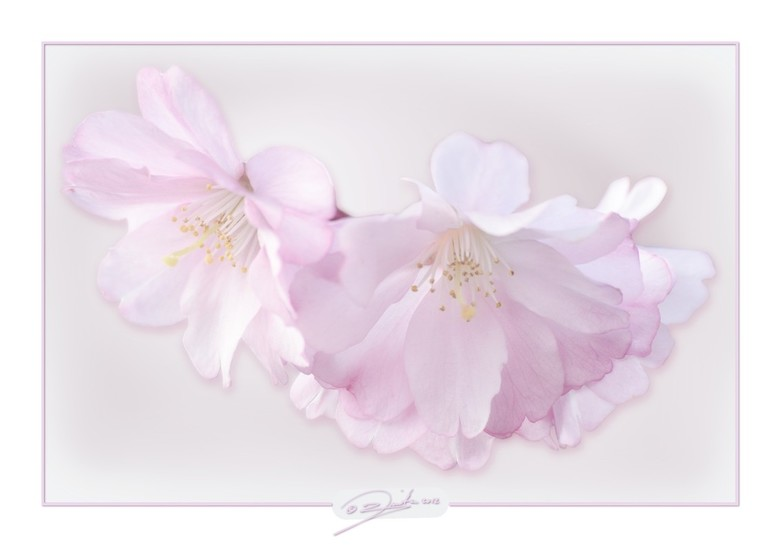 Bloesem - Een prunus begint te bloeien met teerroze bloemetjes.<br /> Bewerking gekozen die ik vind passen bij de bloemetjes.