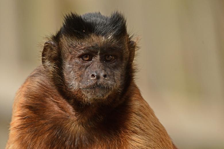 als je haar maar goed zit  - Kapucijnapen zijn vernoemd naar de kloosterorde van de kapucijnen om de overeenkomst van hun gezichtstekening met de kapp