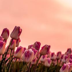Ijskoud roze