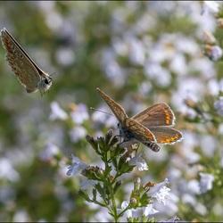 Icarus vlinders.