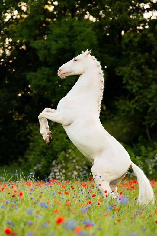 Cremello - Super gave fotoshoot gedaan met prachtige paarden modellen en een mooi bloemenveld!<br /> Dit paard kon op commando steigeren. Super gaaf