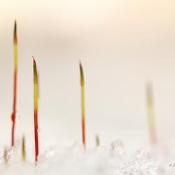 Mosjes in de sneeuw