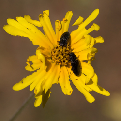 Twee insecten op gele bloem