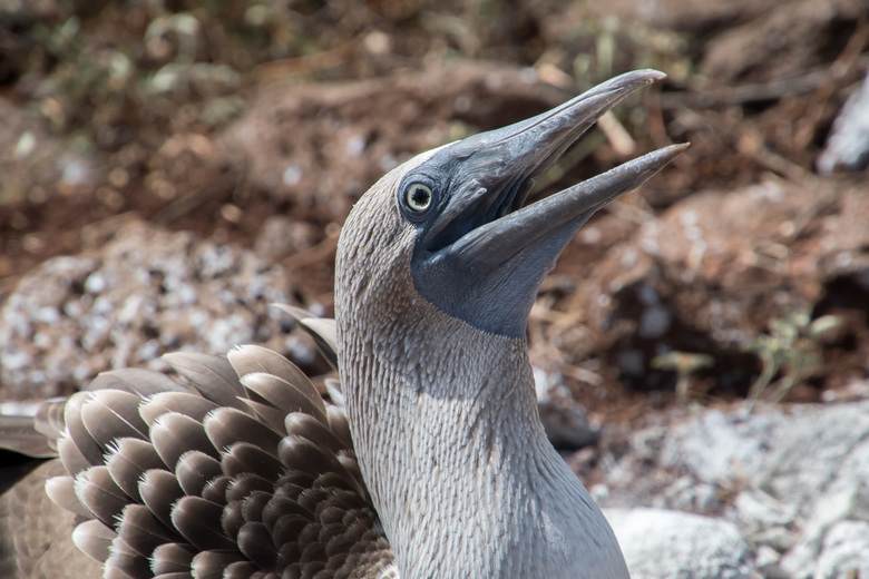 Blauwvoet jan-van-gent Galapagos -