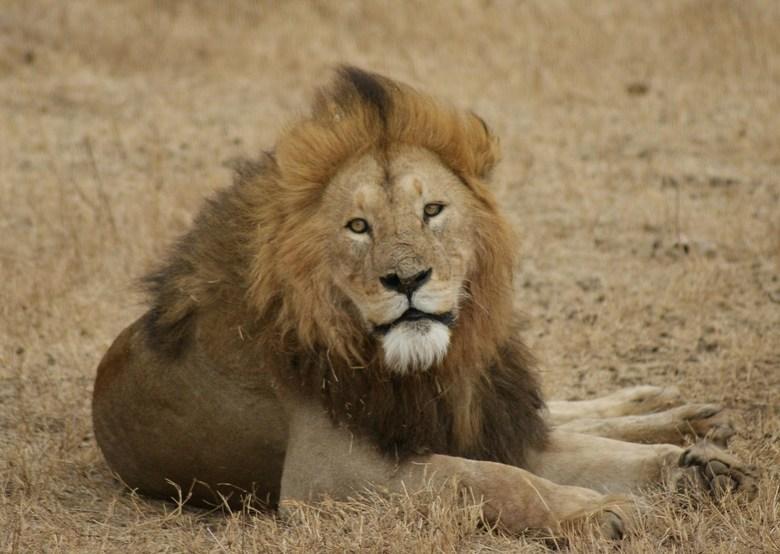 Leeuw Tanzania - Leeuw in Ngorongoro krater in Tanzania